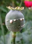 opium-poppy-200